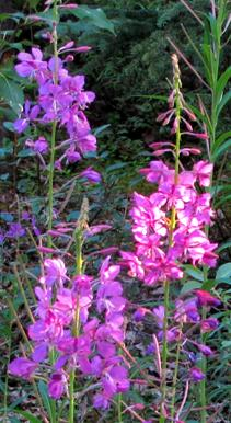 fireweed in midnight sun.jpg